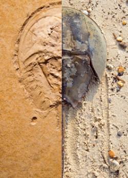 약 1억 5000만 년 전에 살았던 투구게의 조상 '메솔리물루스 발키'의 화석(왼쪽). 오늘날의 투구게(오른쪽)와 생김새가 거의 똑같다. - 글항아리 제공